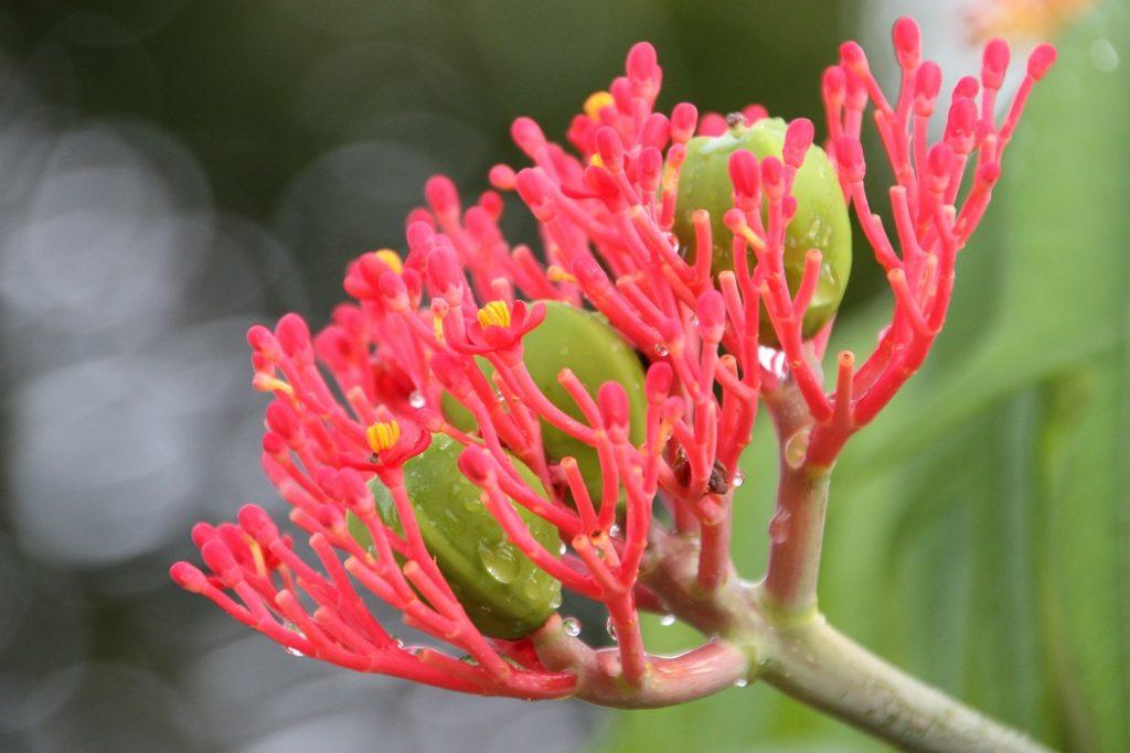 Blume Zentralafrika